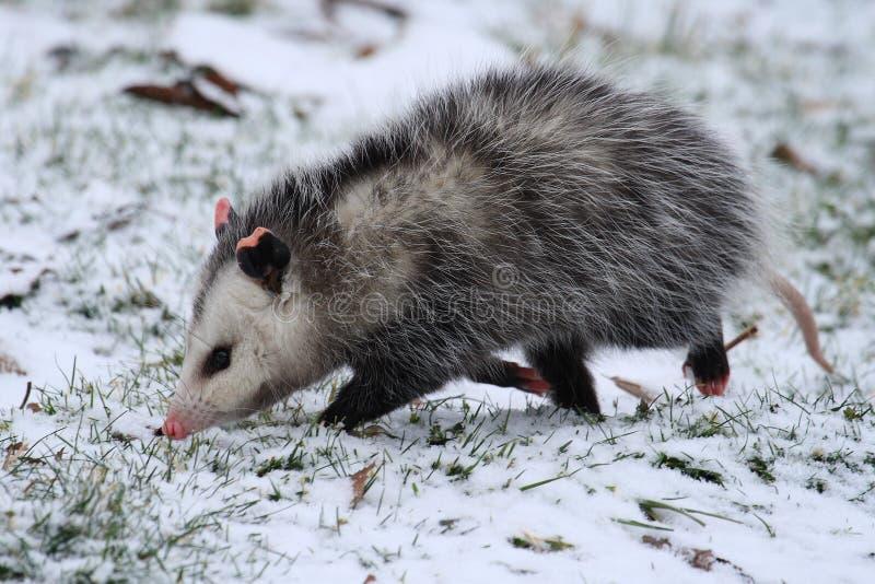 Opossum marchant dans la neige photos stock