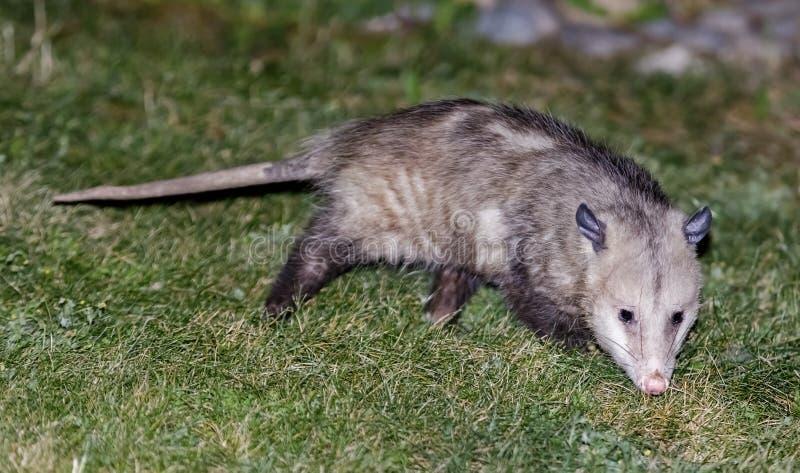 Opossum nord-américain forageant dans une arrière-cour résidentielle de propriété images libres de droits