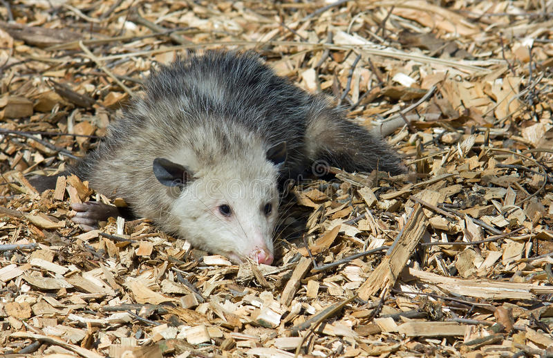 Opossum playing possum. Agrey oppsossum playing dead in the woodchips near a woodland area stock photos