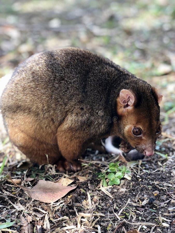Opossum Queensland Australia del Ringtail immagine stock