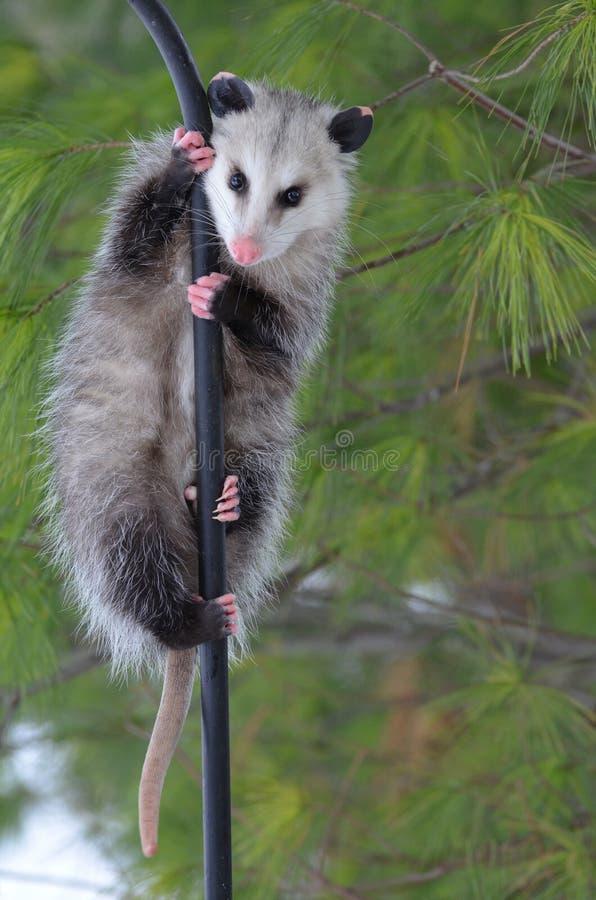 Opossum sur un Pôle photos libres de droits