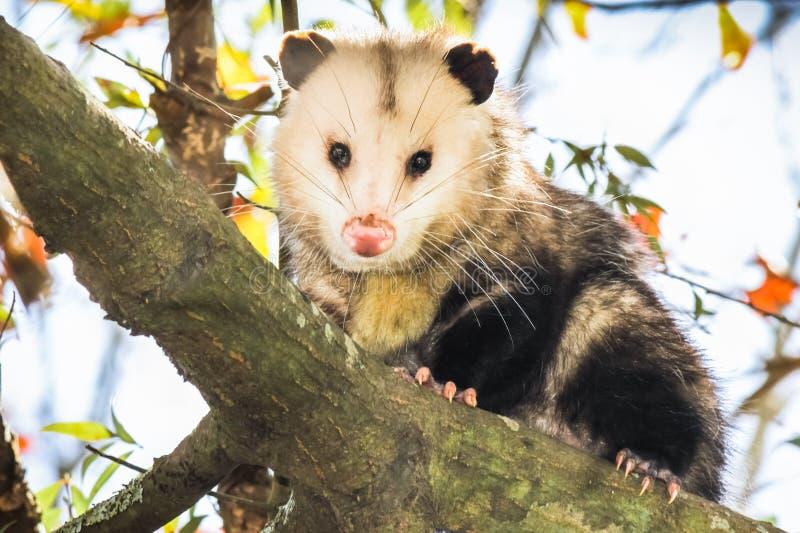 Opossum sur une branche d'arbre photos libres de droits