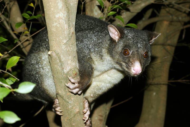 Opossum vers le haut d'un arbre image stock