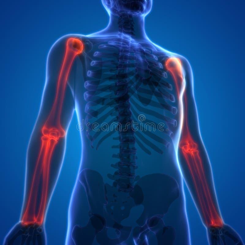 Opperarmbeen van de de Pijnenanatomie van het menselijk Lichaamsbeen het Gezamenlijke met Straal en Ellepijp vector illustratie