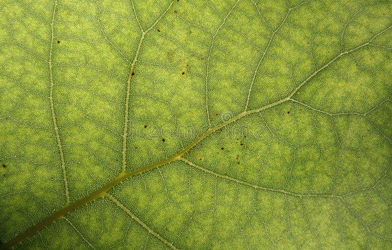 Oppervlakte van groen blad stock foto's