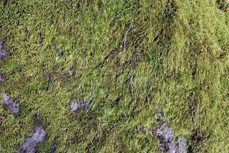 Oppervlakte van Nat Groen Mos op Groot Grey Rock stock foto's