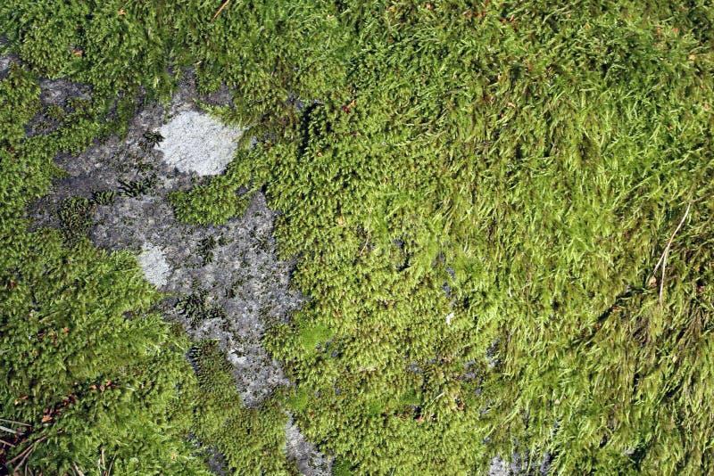 Oppervlakte van Nat Groen Mos op Groot Grey Rock royalty-vrije stock afbeelding