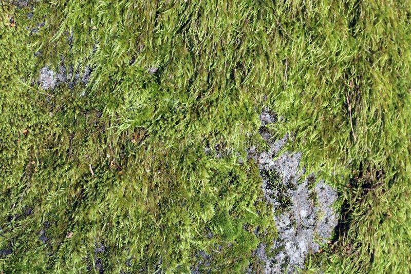 Oppervlakte van Nat Groen Mos op Groot Grey Rock royalty-vrije stock foto's