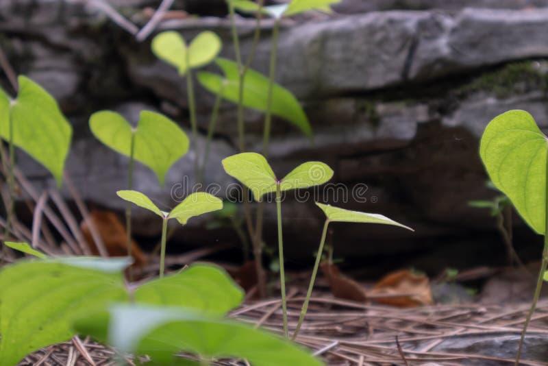 Opposita Thunb della Dioscoreae-dioscorea di Rhizoma immagini stock
