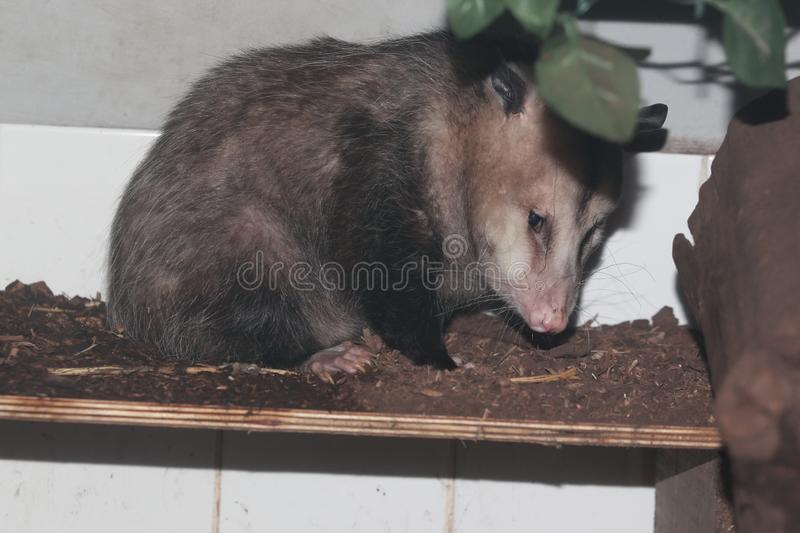 Opposum van Virginia stock fotografie