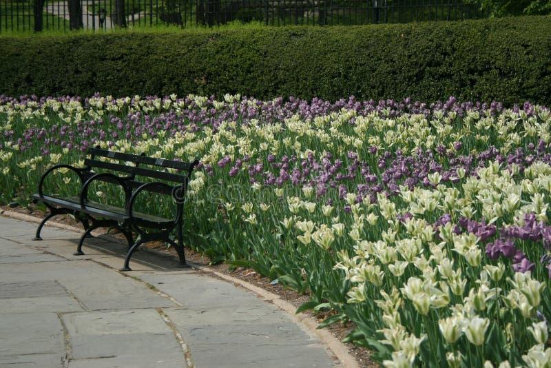 Opróżnia Parkową ławkę otaczającą purpurowymi i białymi tulipanami obrazy royalty free