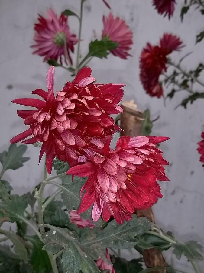Opromieneni czerwień kwiaty obrazy royalty free