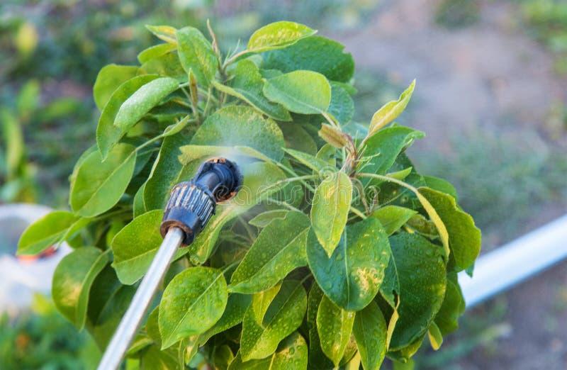 Opryskiwań drzewa z pestycydami fotografia stock