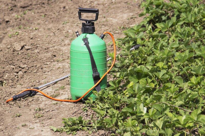 Opryskiwanie użyźniacz Pompująca natryskownica Używać pestycydy na ogródzie Opryskiwanie truskawkowi krzaki podczas kwiecenia zdjęcia stock