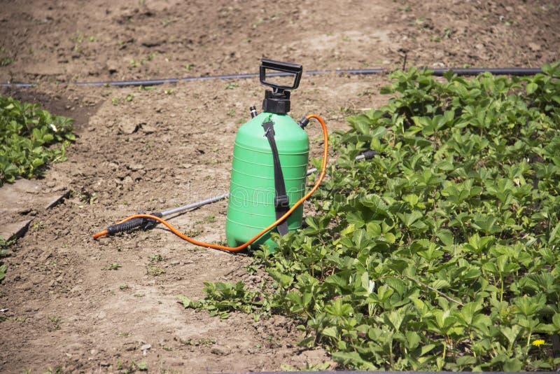 Opryskiwanie użyźniacz Pompująca natryskownica Używać pestycydy na ogródzie Opryskiwanie truskawkowi krzaki podczas kwiecenia obrazy royalty free