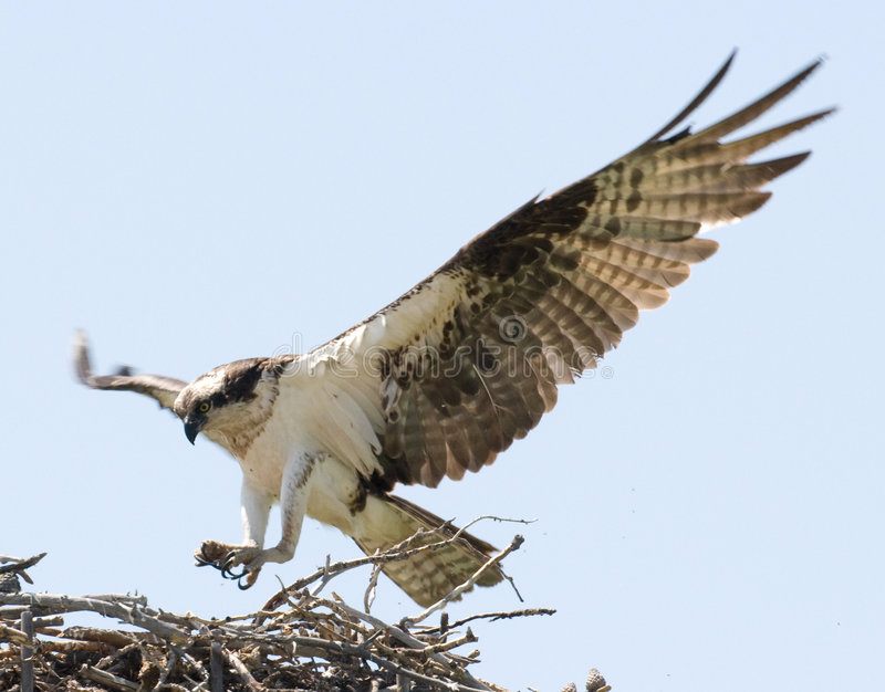 Download Opsrey landing on a nest stock photo. Image of bird, sticks - 7341610