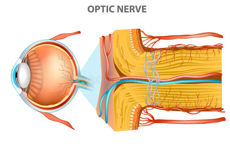 The Optic Nerve. royalty free illustration