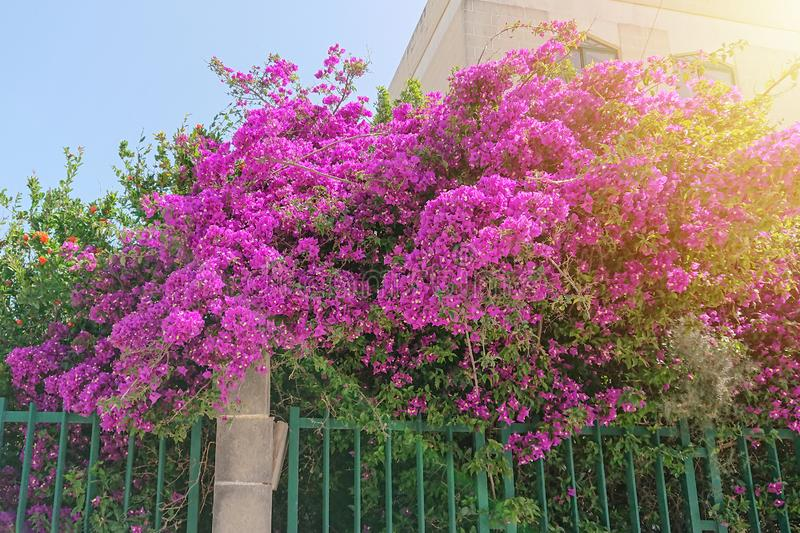 Opulent blooming pink flowers of bush Paperflower. Bougainvillea glabra, growing behind the fence of the villa and goes out the street stock images