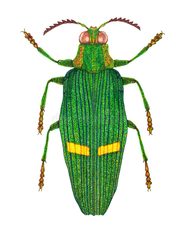Opulent jewel beetle. A fibre (felt-tip) pens illustration of an opulent jewel beetle (Catoxantha Opulenta). This beetle is from Southeast Asia vector illustration
