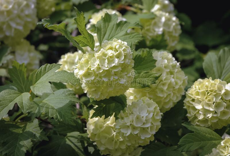 Opulus de Viburnum - Snowball photo stock