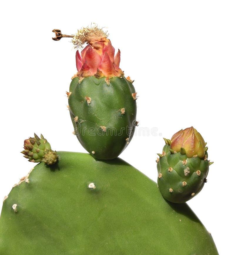 Opuntia τραχιά αχλάδια κάκτων Ανάπτυξη φρούτων στοκ φωτογραφία με δικαίωμα ελεύθερης χρήσης