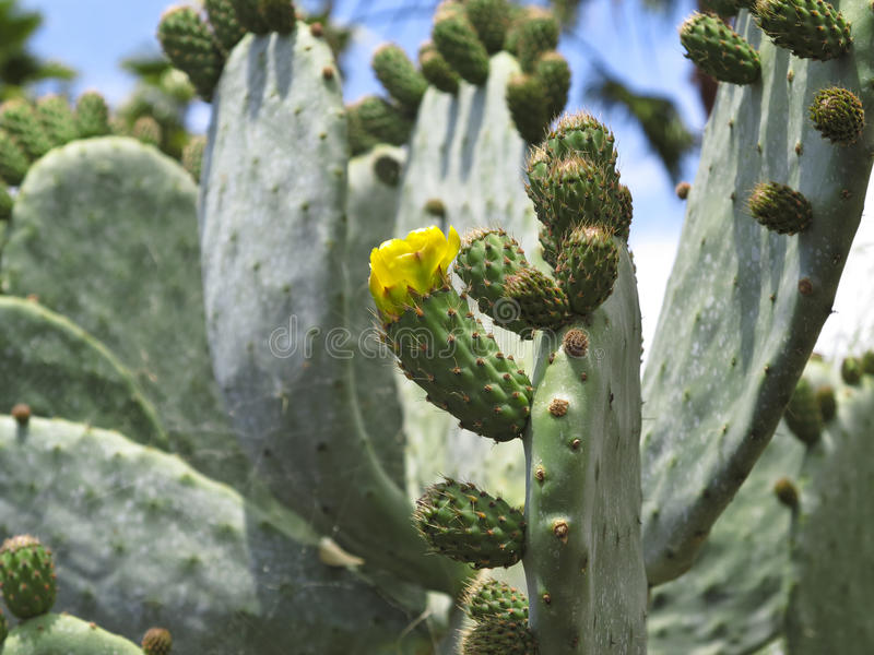 Opuntia. Prickly pear close up royalty free stock image