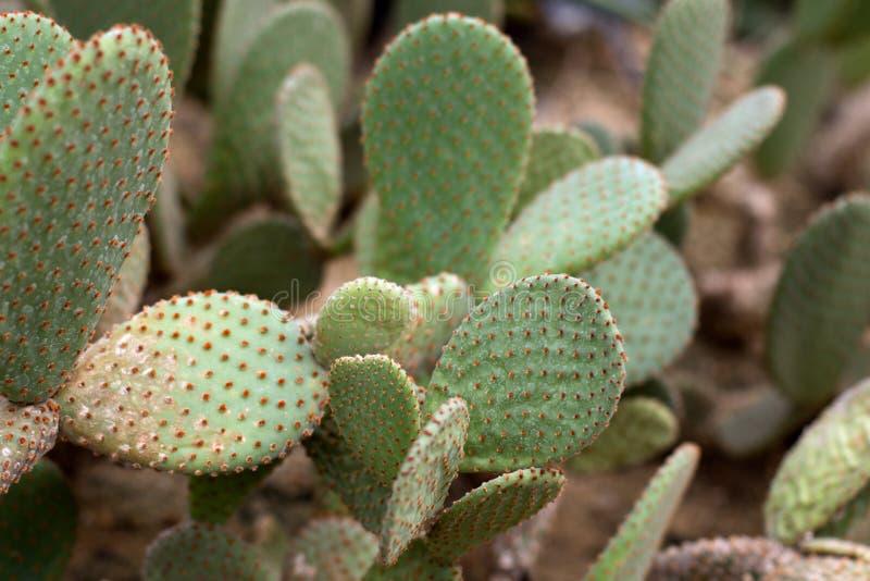 Opuntia стоковая фотография