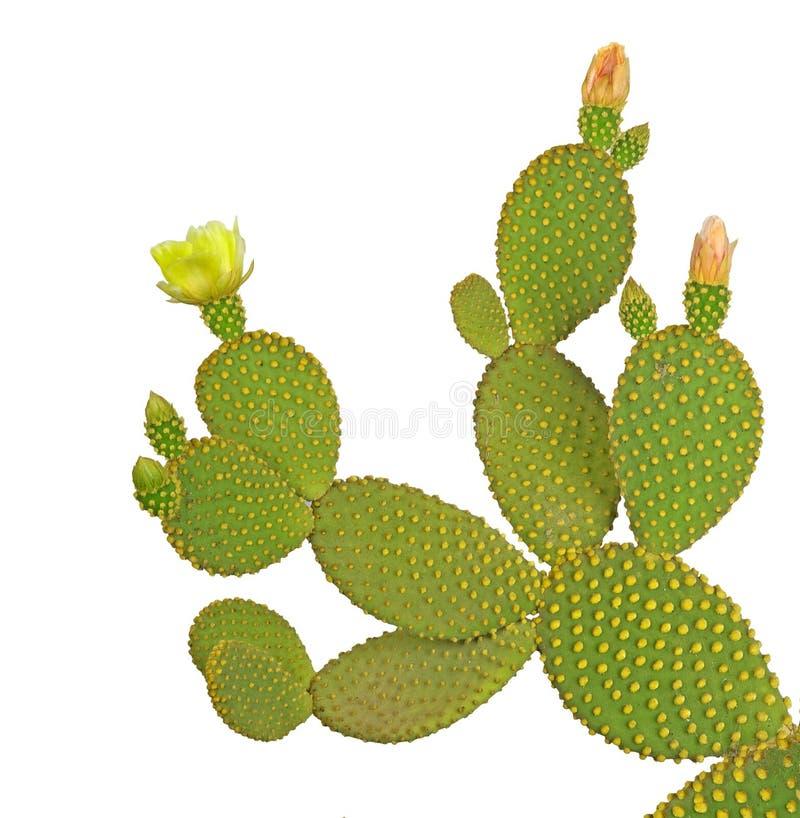 Opuntia cactus royalty free stock photos