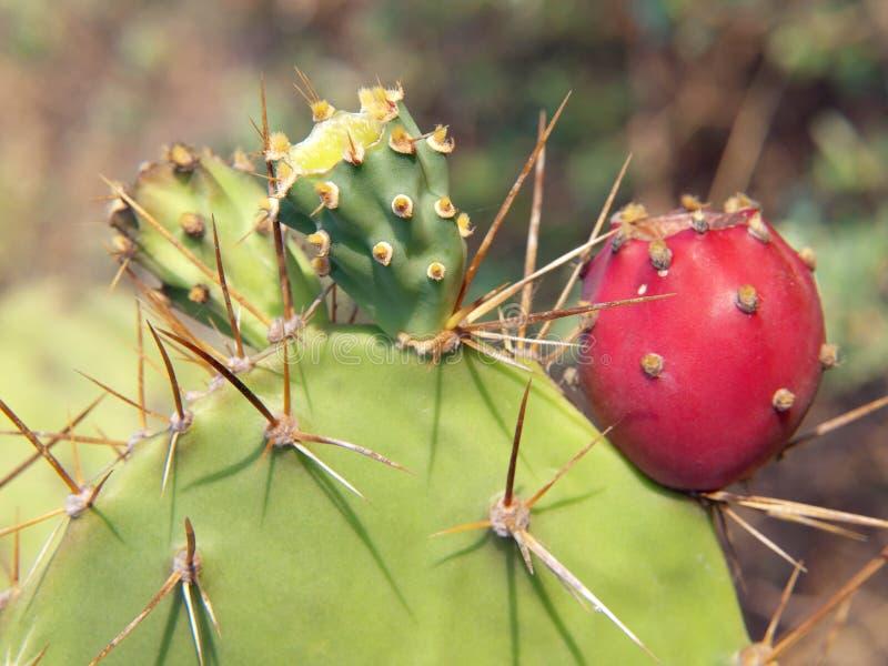 Opuntia cactus. Closeup thorns of Opuntia cactus with fruit stock images