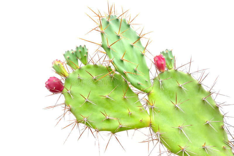 Opuntia cactus. Isolated on white background stock image