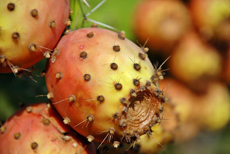 Opuntia cactus. Detail of the opuntia cactus fruit stock photo