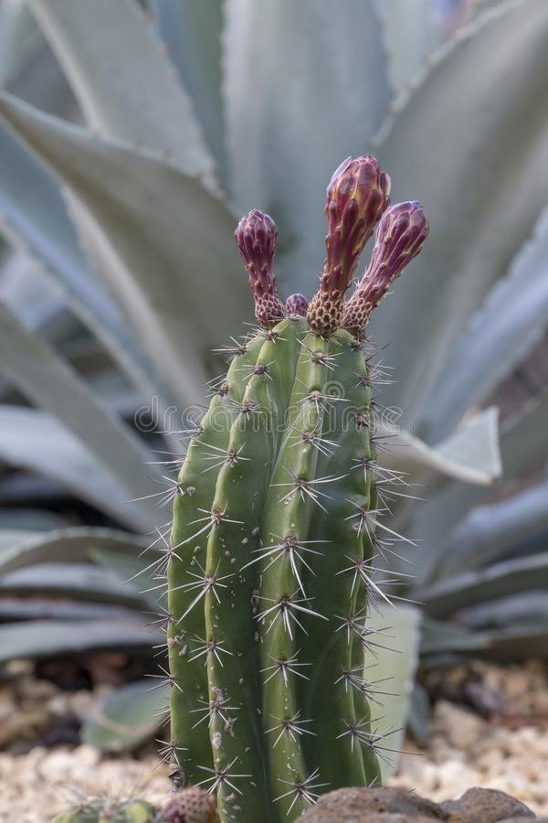 Opuntia cactus buds. A budding opuntia cactus stealing the limelight from the larger agave pelow mescal succulent royalty free stock photography
