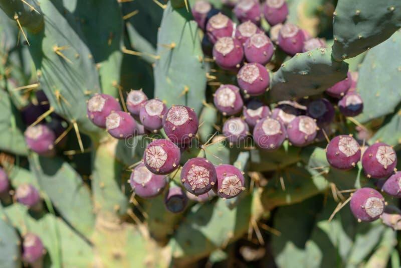 Opuntia Cactus del higo chumbo con la fruta foto de archivo libre de regalías
