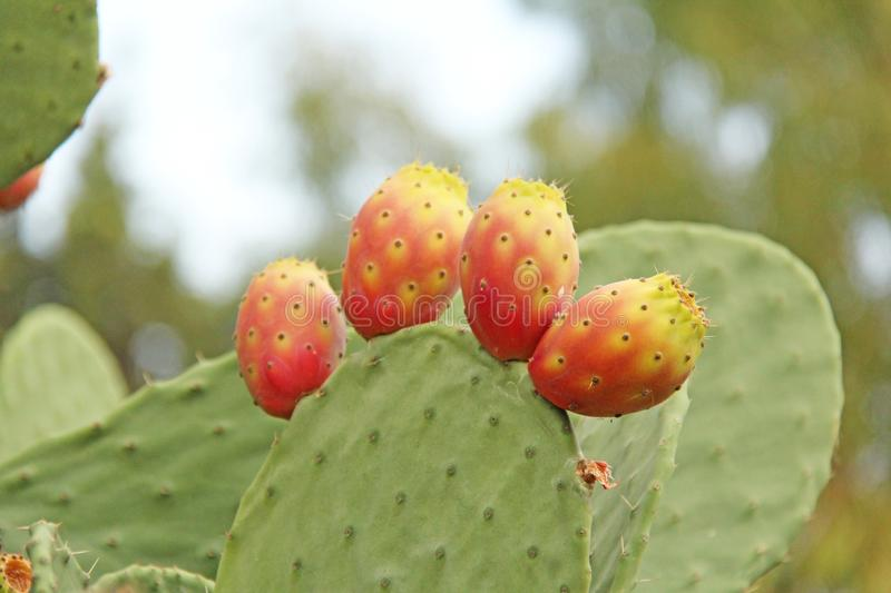 Opuntia Cactus and Cactus Fruits on the Blue Sky Background. Family Cactaceae. America, Mexico, Spain, Italy.  royalty free stock photo