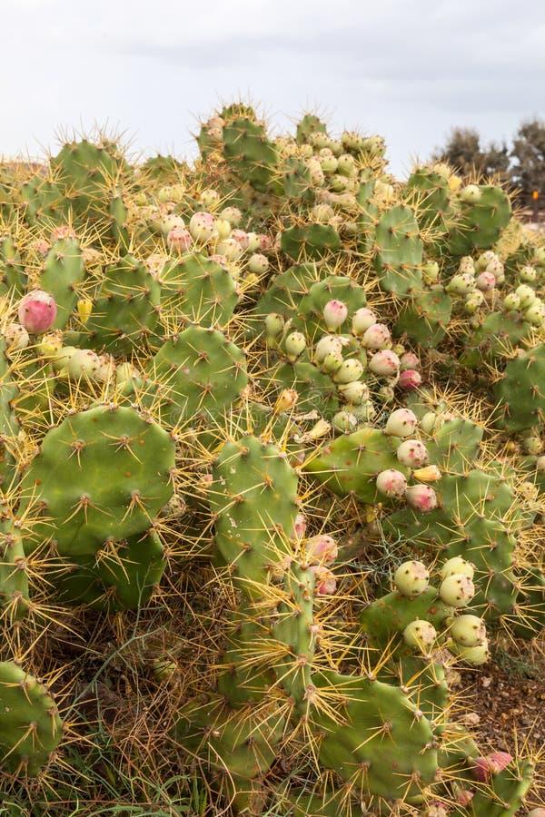 Opuntia. Cactus in Fuerteventura, Canary Islands, Spain royalty free stock image