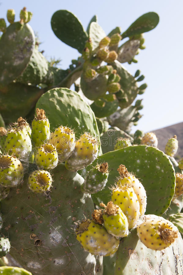 Opuntia cactus. In mountain in fuerteventura island royalty free stock images