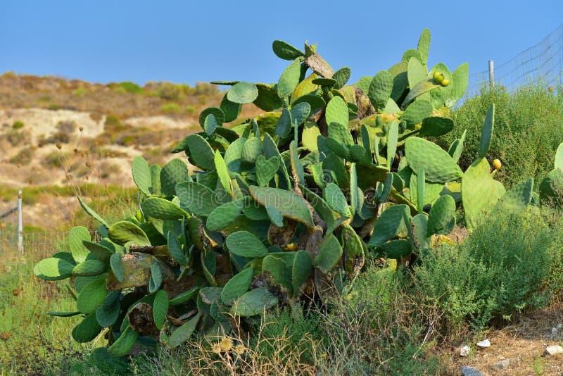 Opuntia cactus. Prickly pear, opuntia cactus in Kos island, Greece stock image