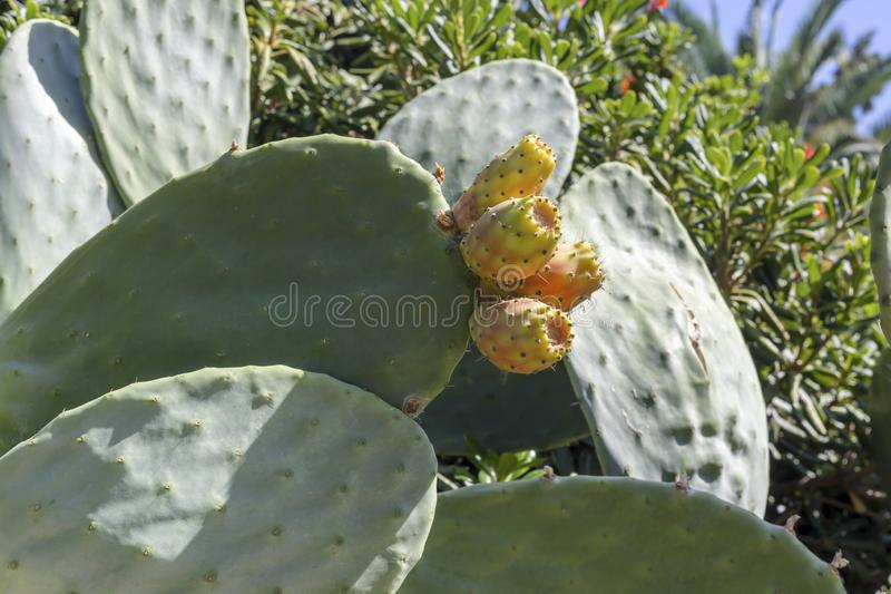 Opuntia de fruits de cactus se développer en gros plan images libres de droits