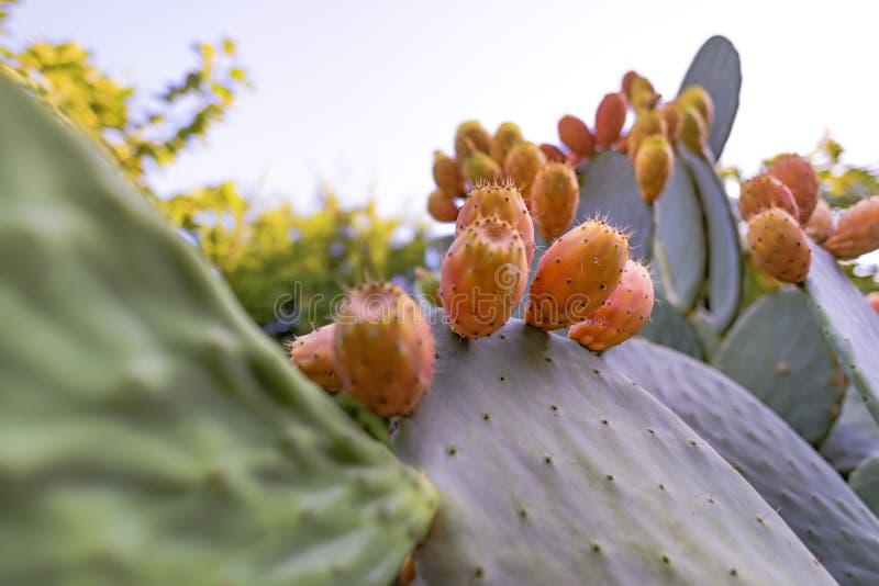 Opuntia dos ramos do cacto de Sabra ficus-indica com muitos frutos maduros Cacto de pera espinhosa com frutos doces suculentos imagens de stock