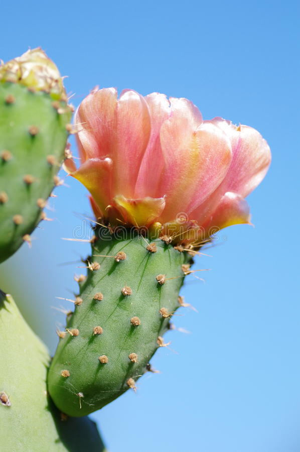 Opuntia ficus-indica royalty free stock photo