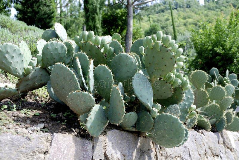 Opuntia ficus indica. Cactus Opuntia ficus indica in Merano - Italy stock images