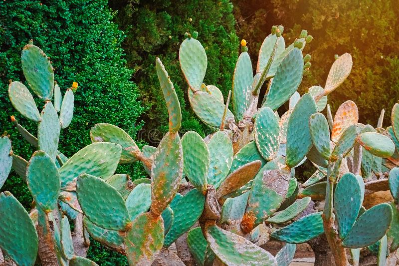 Opuntia Ficus Indica. Cactus Opuntia Ficus Indica - Domesticated Crop Plant royalty free stock images