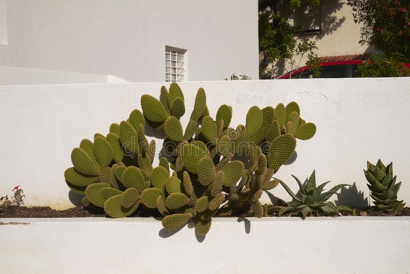 Opuntia in a garden. In Ibiza royalty free stock photography