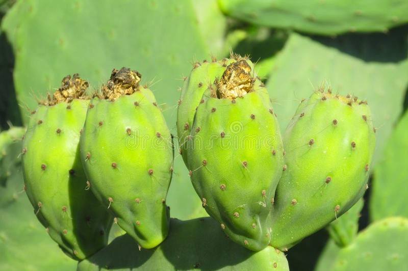 Opuntia. Green fruits and leaves among needles.  cactus, prickly pear. Cactus with green fruits stock photos
