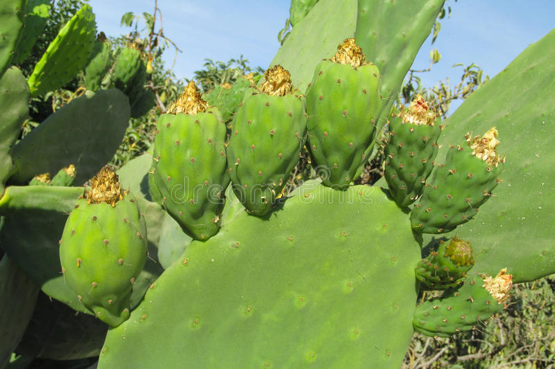 Opuntia. Green fruits and leaves among needles.  cactus, prickly pear. Cactus with green fruits stock photo
