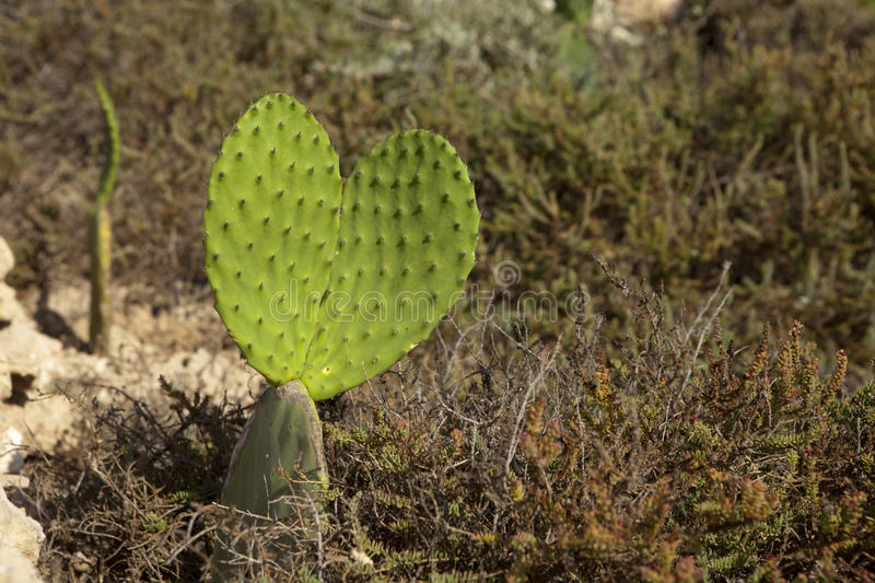 Opuntia heart. Opuntia cacti in the shape of heart royalty free stock photos