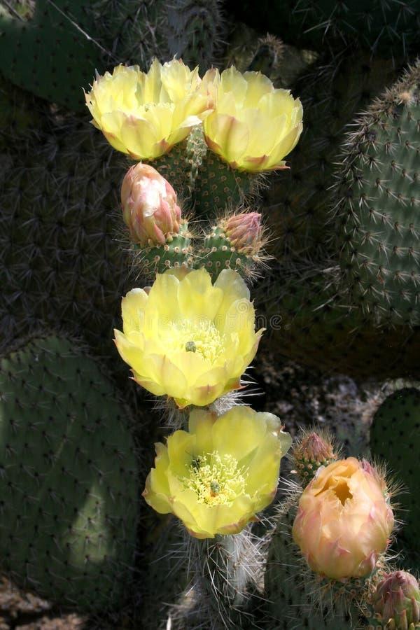 Opuntia leucotricha stock images