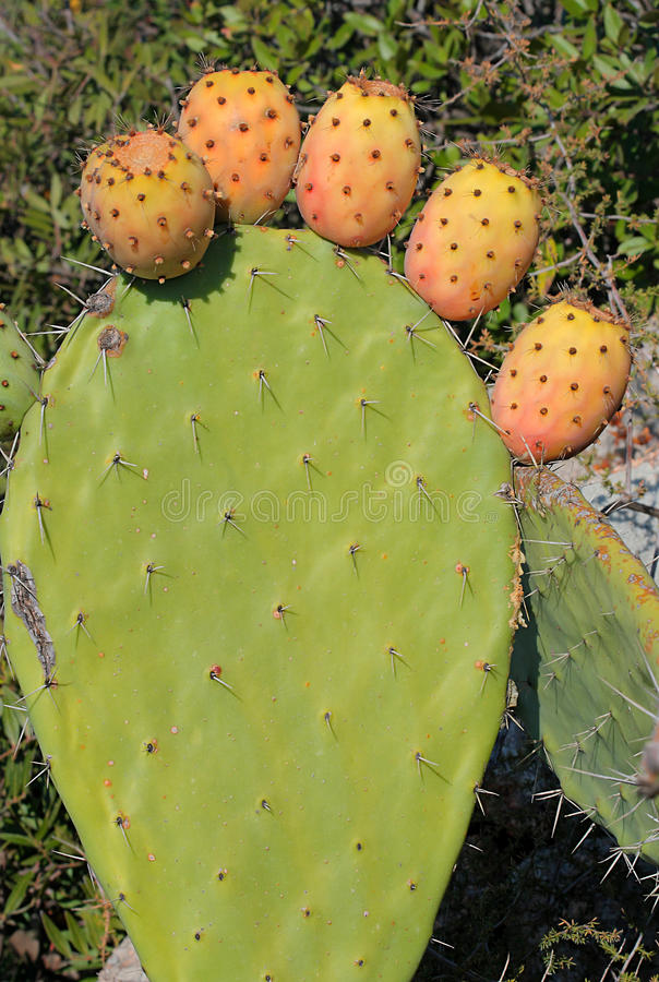Opuntia plant. With the six fruits stock photography