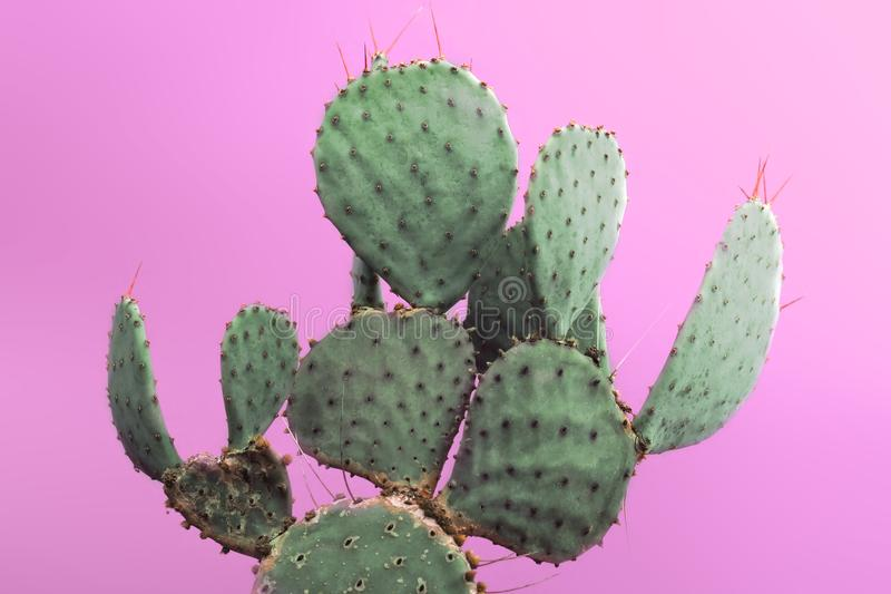 Opuntia Prickly Pear Green Cactus with small sharp thorns. Isolated on pink background. Closeup green cactus with needles pattern on pink background. Decorative royalty free stock photos