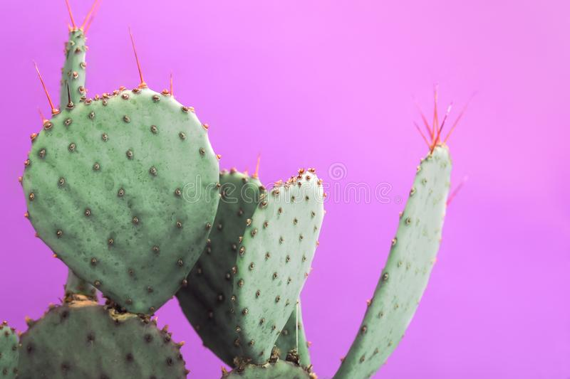 Opuntia Prickly Pear Green Cactus with small sharp thorns. Isolated on pink background. Closeup green cactus with needles pattern on pink background. Decorative stock image